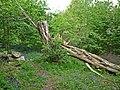 Downy Birch, Priory Park - geograph.org.uk - 1291964.jpg