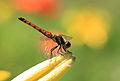 Dragonfly - 蜻蛉(とんぼ) (6035963085).jpg