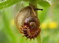 Drilus larva.jpg