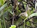 Drymophila striaticeps - Streak-headed Antbird - female.jpg