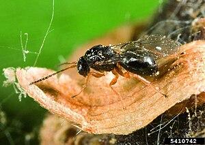 Dryocosmus kuriphilus.jpg