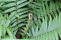 Dryopteris affinis-IMG 9806.JPG