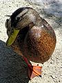 Duck (2704387458).jpg