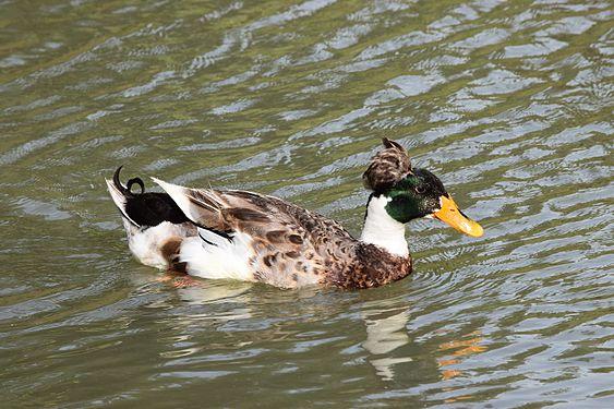 Duck In Toupee.jpg