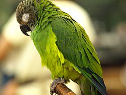 Dusky-headed Conure (Aratinga weddellii) in captivity.jpg