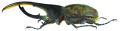 Dynastes hercules lichyi (Lachaume, 1985) male (8538220569).png