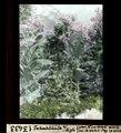 ETH-BIB-Tabakblüte bei Aigle-Dia 247-13433.tif