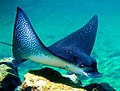 Eagle Ray closeup.jpg