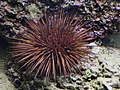 Echinometra lucunter.jpg