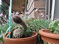 Echinopsis cactus 02.JPG