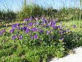 Echium plantagineum plant8 (13919288556).jpg