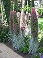 Echium wildpretii 1.jpg