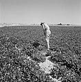 Een bewoonster van de kibboets Revivim in de Negevwoestijn bij een nieuwe aanpl…, Bestanddeelnr 255-3964.jpg