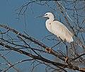 Egret (6217274725).jpg