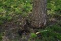 Eichhörnchen nebst Baumstamm 07052019.jpg