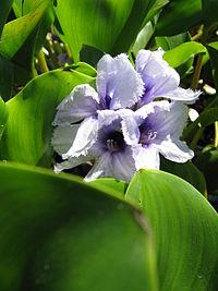 Eichhornia azurea5.jpg