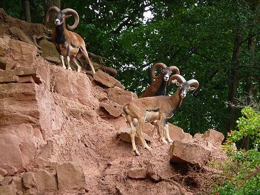 Eifelpark Gondorf Mufflons
