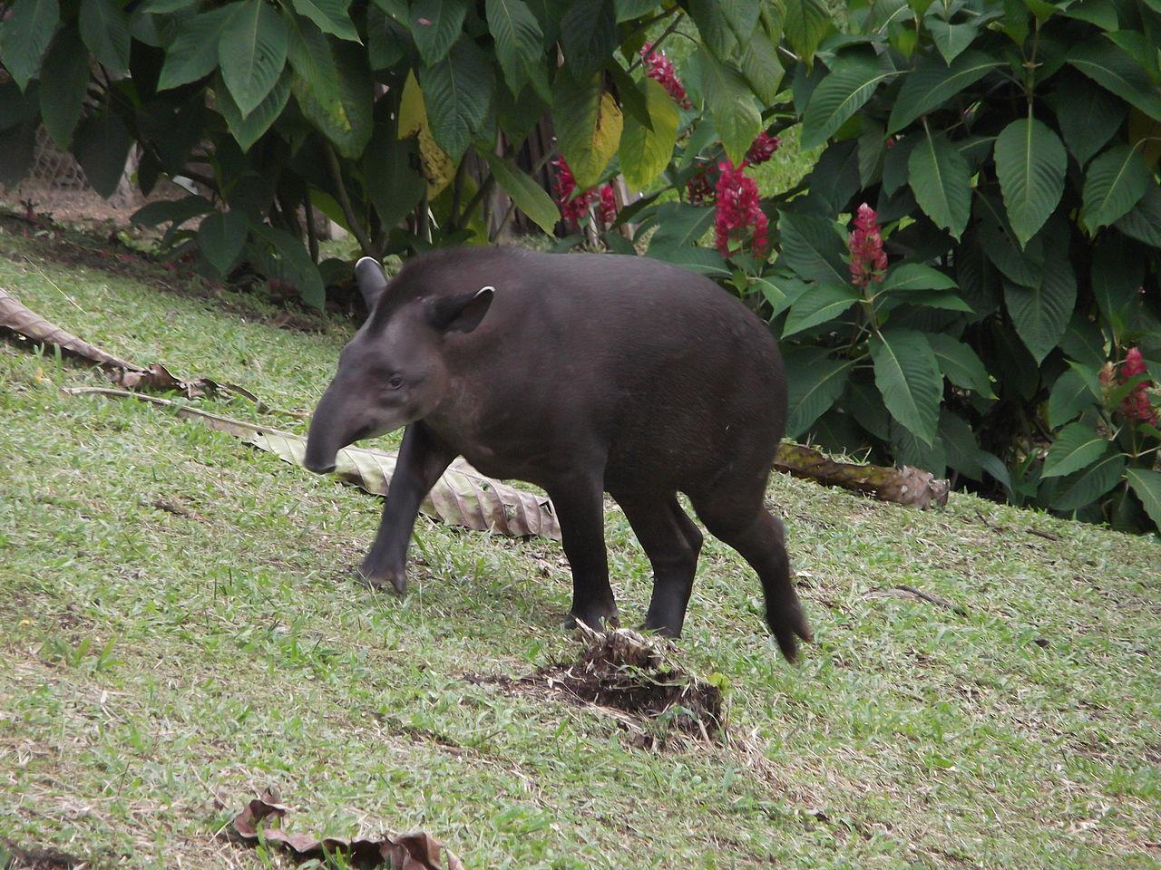 File:El Tapir en el Coca, Ecuador.jpg - Wikimedia Commons