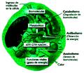 El metabolismo celular.png