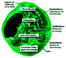 El poder reductor y el control del metabolismo energético..