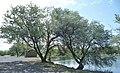 Elaeagnus angustifolia at Banks Lake Grant County.jpg