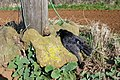 Electrocuted Crow - geograph.org.uk - 1218607.jpg