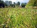 Eleocharis acicularis inflorescence (02).jpg