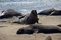 Elephant seals, Piedras Blancas 09.jpg