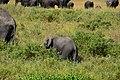 Elephants in the Serengeti (3) (28327292620).jpg