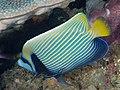 Emperor angelfish (Pomacanthus imperator) (28822083677).jpg