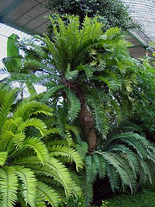 Encephalartos Altensteinii in Lednice Greenhouse.jpg