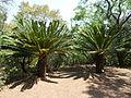 Encephalartos transvenosus, a, Pretoria NBT.jpg