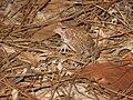 Endangered Houston toad (Bufo houstonensis).jpg