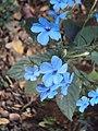 Eranthemum capense at Nedumpoil (21).jpg