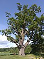 Erbenův dub.jpg