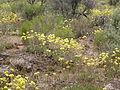 Eriogonum ovalifolium (4045138159).jpg