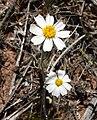 Eriophyllum lanosum 2.jpg
