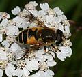 Eristalis horticola (= E. lineata) female - Flickr - S. Rae (1).jpg