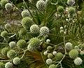 Eryngium paniculatum 2.jpg