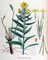 Erysimum strictum — Flora Batava — Volume v17.jpg