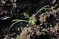 Eschscholzia californica kz02.jpg