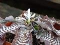 Estrella de tierra (Cryptanthus zonatus) - Flickr - Alejandro Bayer (1).jpg