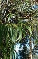 Eucalyptus camaldulensis kz1.jpg