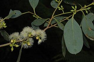 <i>Eucalyptus camphora</i> Species of eucalyptus