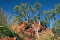 Eucalyptus cupularis.jpg