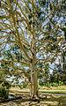 Eucalyptus dalrympleana 7136 pano 3.jpg