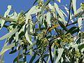 Eucalyptus microtheca 1.jpg