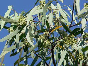 Eucalyptus microtheca - Eucalyptus microtheca foliage