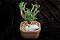 Euphorbia bulbispina.jpg