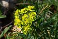 Euphorbia cyparissias (7234678774).jpg